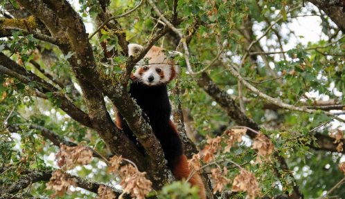 Le panda roux est une espèce arboricole