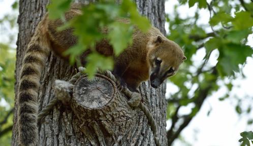 Coati roux © MNHN – F-G. Grandin
