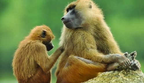 Babouins qui s'épouillent © MNHN - F-G Grandin