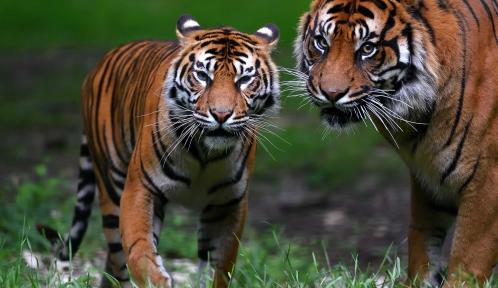 Tigres de Sumatra © MNHN - F-G. Grandin