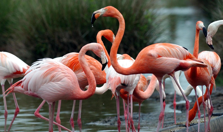 Greater Flamingo The Réserve Zoologique De La Haute Touche Haute Touche Animal Reserve