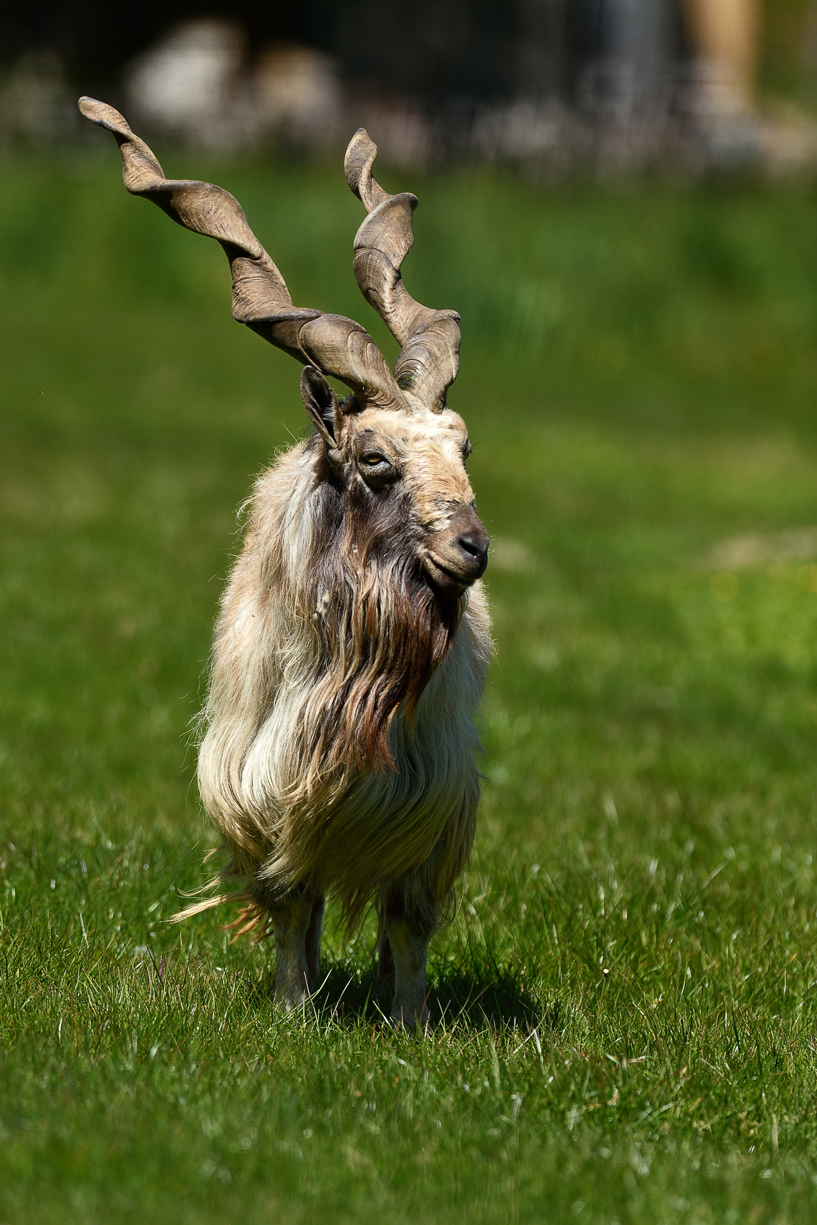 Why the Markhor is Pakistans National Animal?   The
